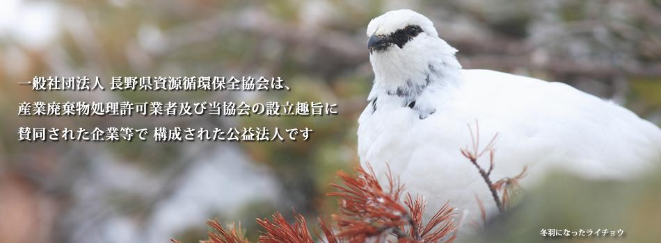 冬羽になったライチョウ